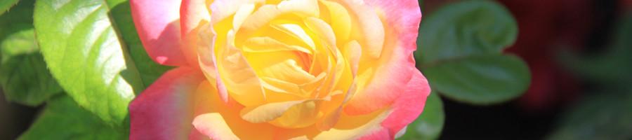 rose wide slide